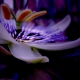 Floarea si fructul pasiunii