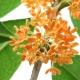 Floarea de osmanthus